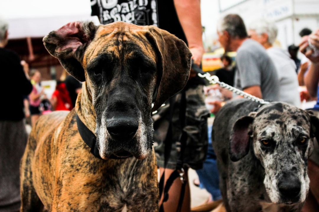 great dane dogs at festival