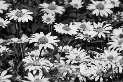 grayscale photo of daisy flowers fauna teams background