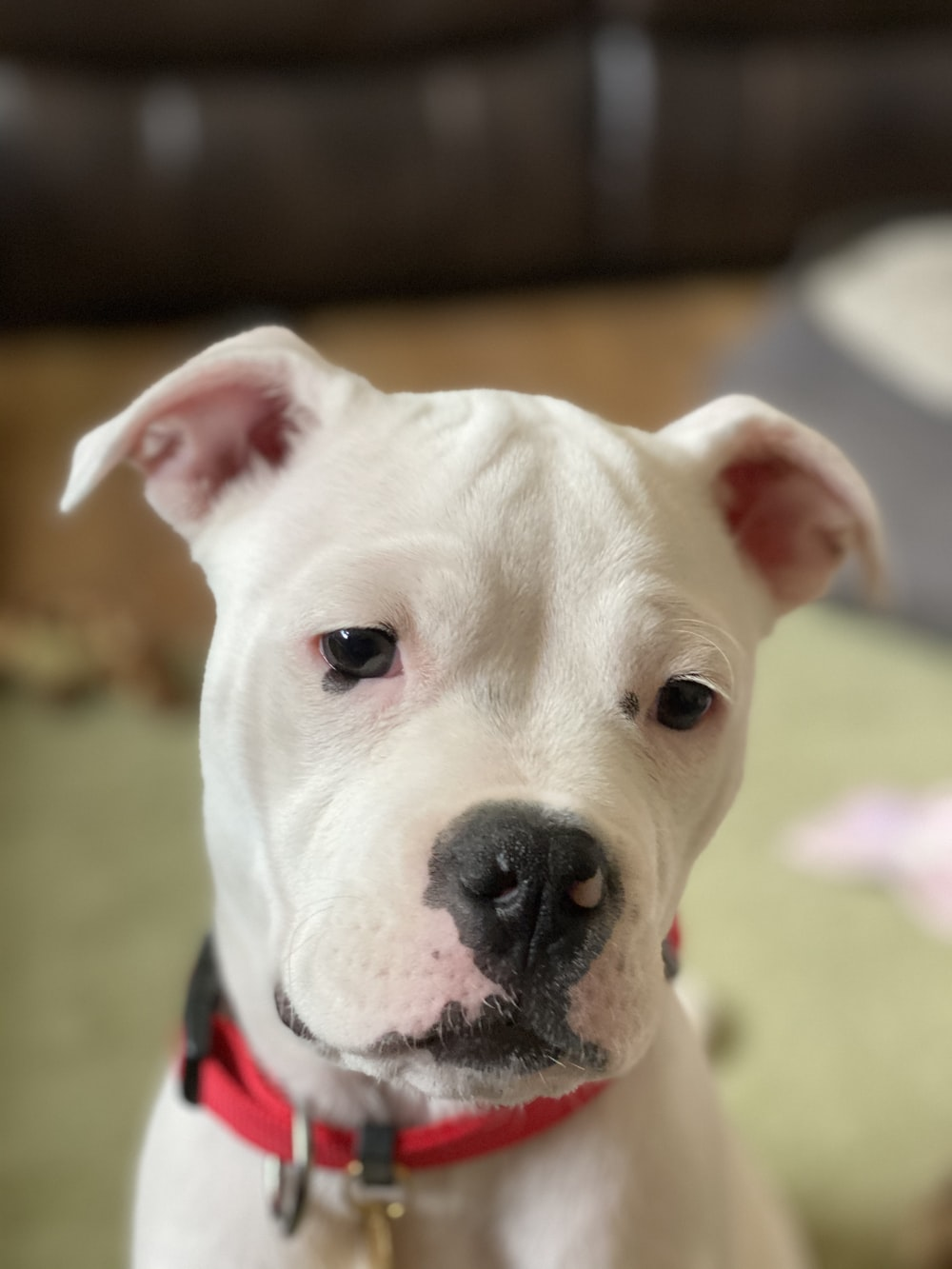 white and black american pitbull terrier mix