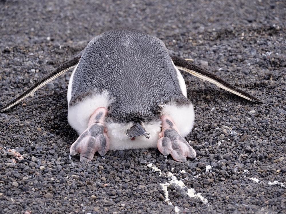 white and black penguin on brown soil