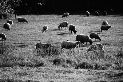 grayscale photo of herd of sheep on grass field