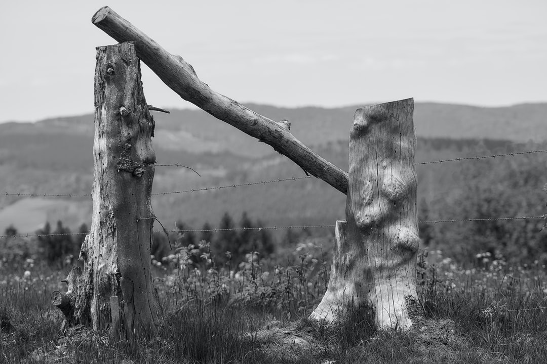 A branch lies on two  tree stumps.