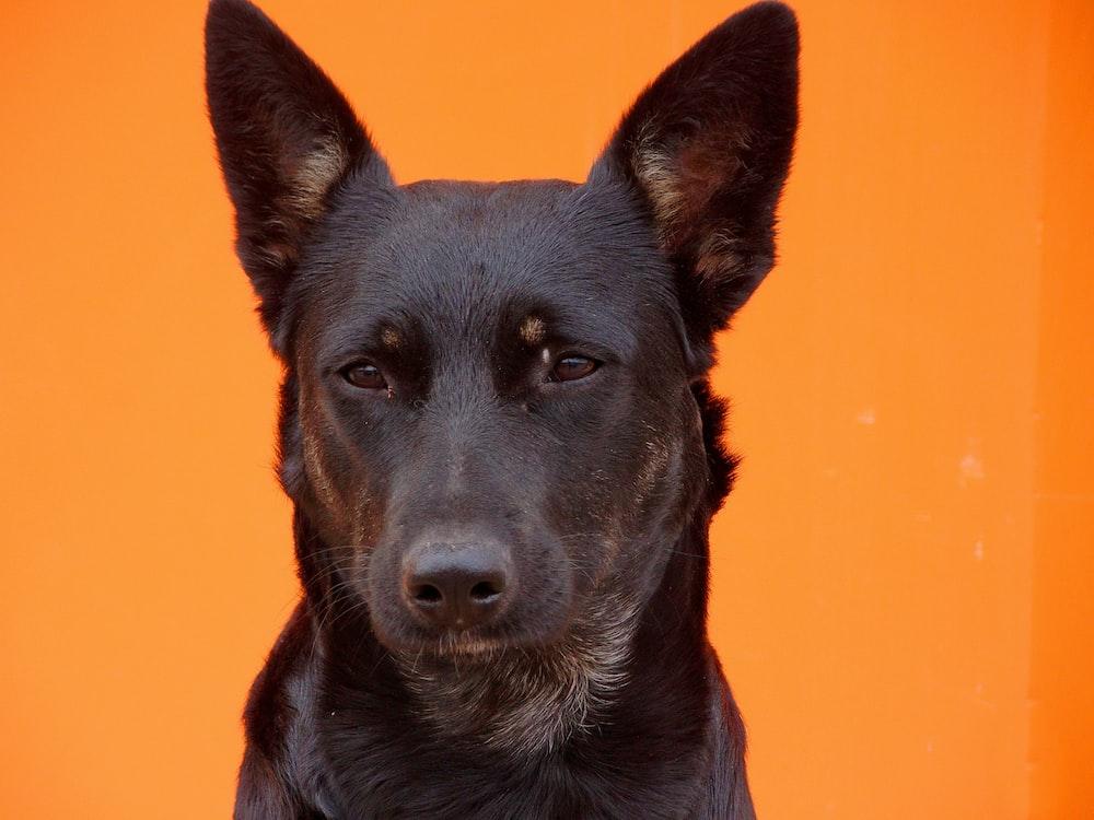 black short coat medium dog