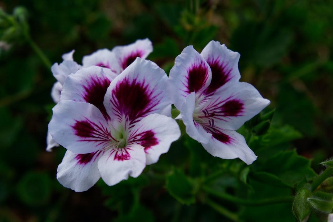 Richly coloured geraniums flowers