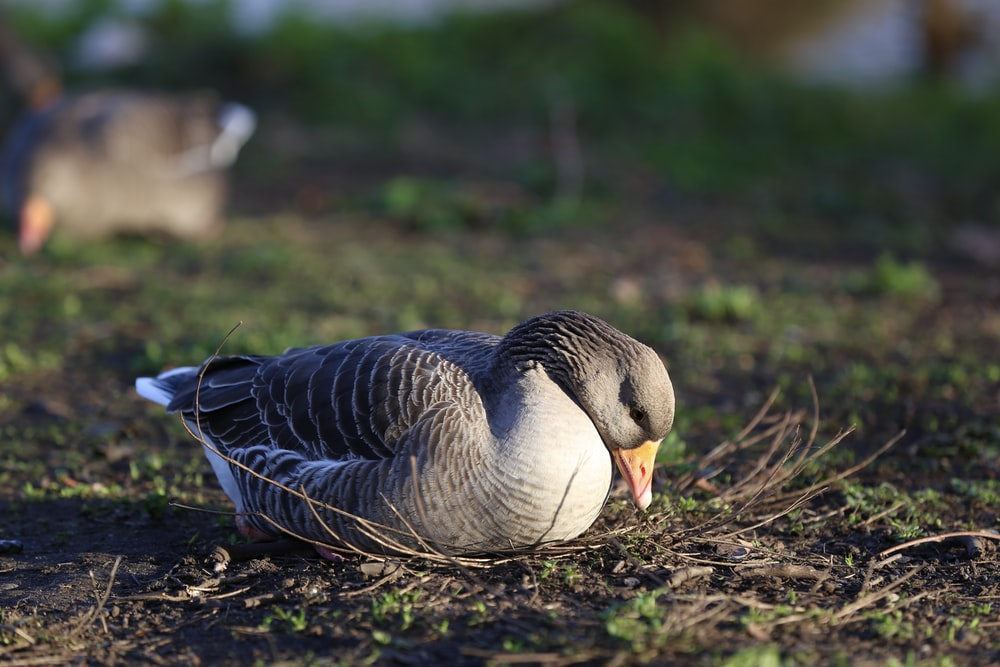 black and white duck on brown soil