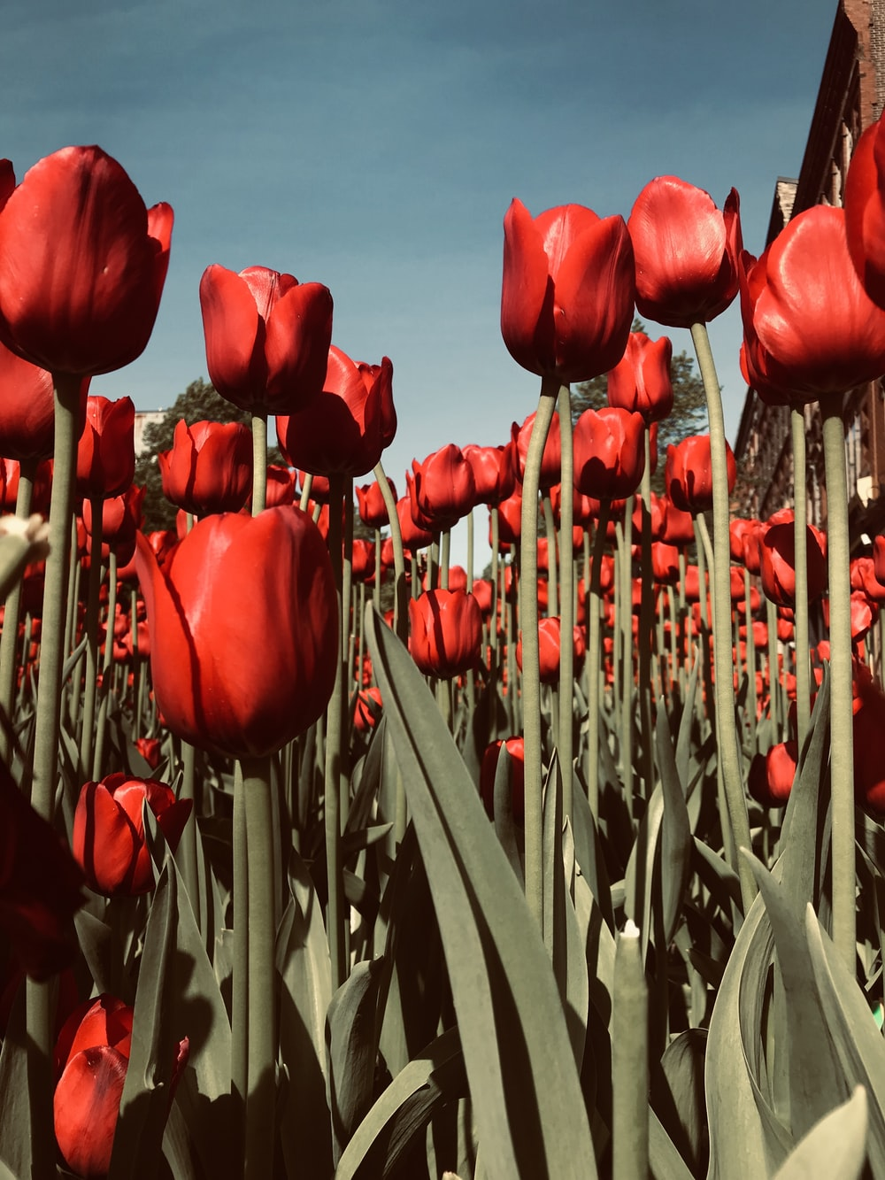 red tulips on brown wooden fence