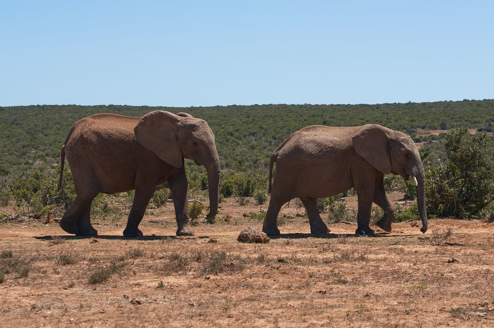three brown elephants on brown field during daytime