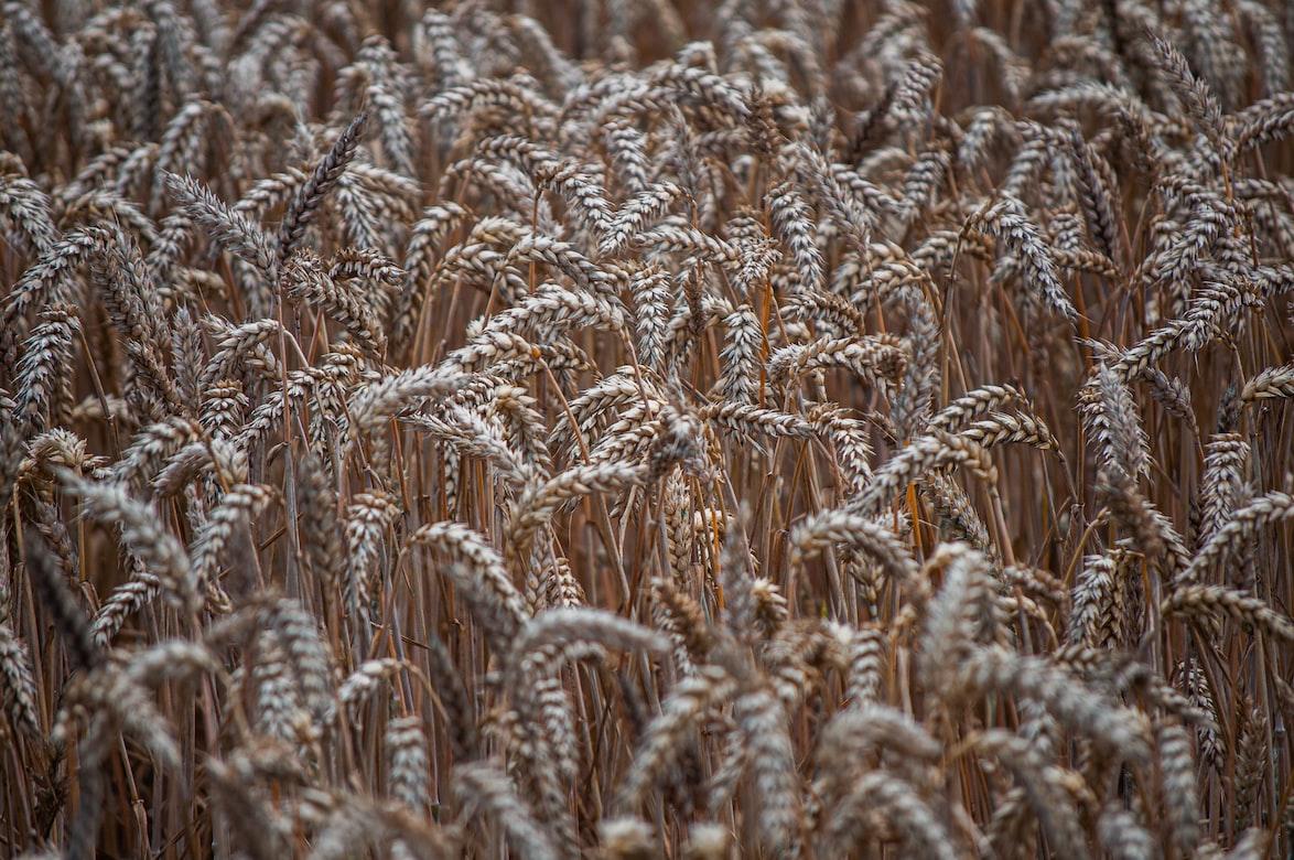Аграріям на замітку: яке зерно обрати, щоб зібрати високі врожаї