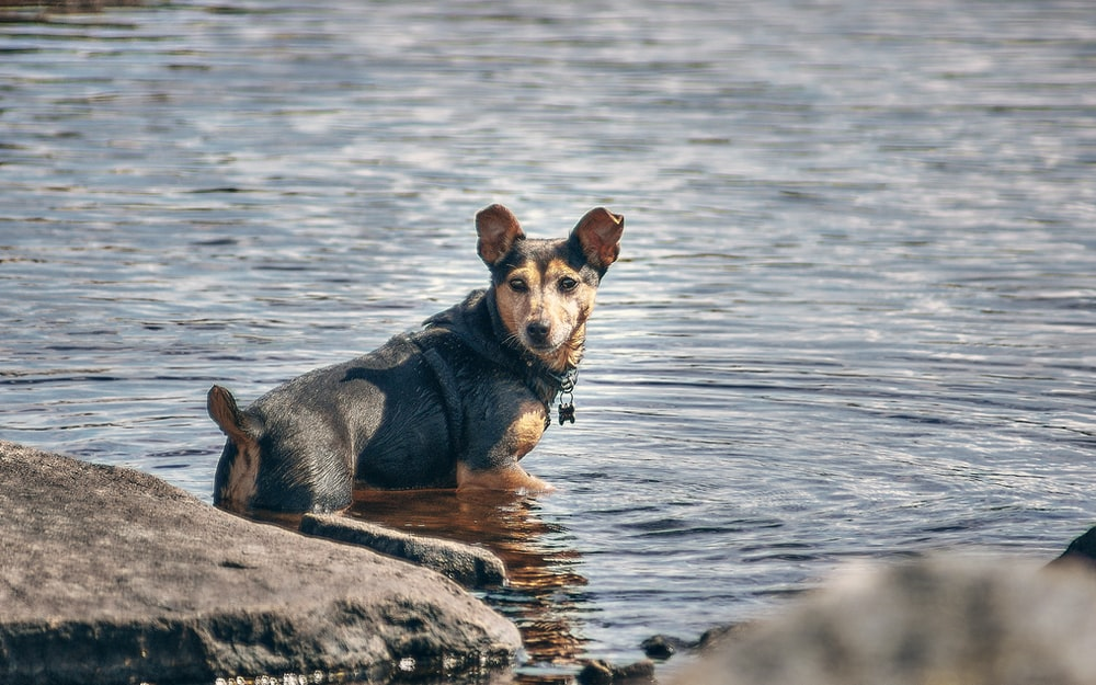 brown and black short coated small dog on gray rock near body of water during daytime