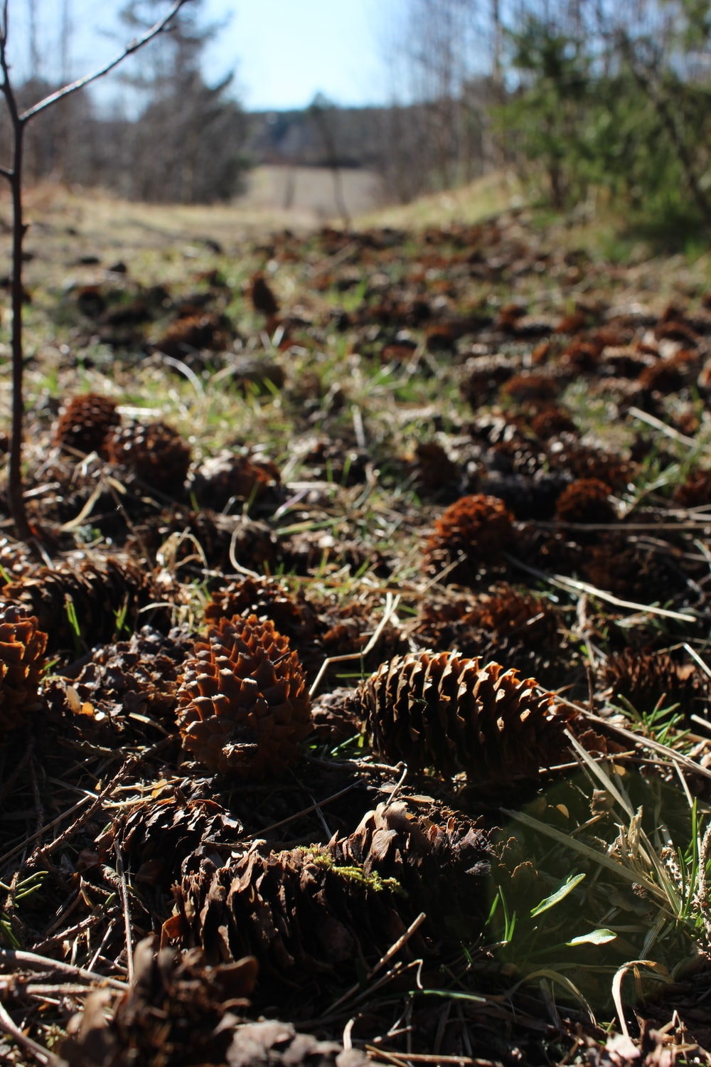 brown pine cones on green grass during daytime