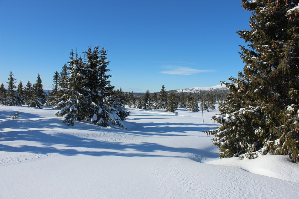 green pine trees on snow covered ground under blue sky during daytime