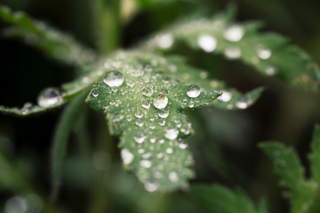 Plant raindrops. Made with analog vintage lens, Leica APO Macro Elmarit-R 2.8 100mm (Year: 1993)
