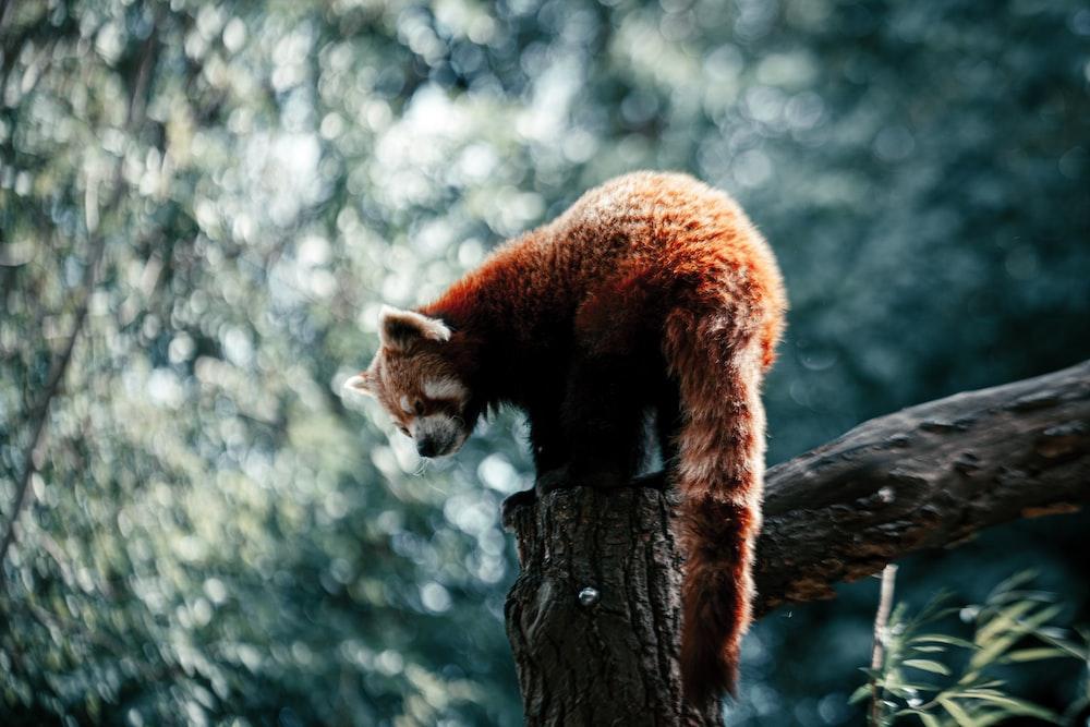 red panda on brown tree trunk during daytime
