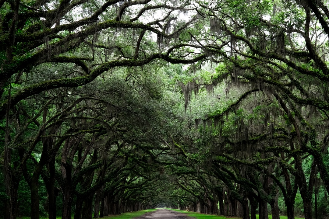 Dense green oak trees lining the road at Wormsloe Historic Site.