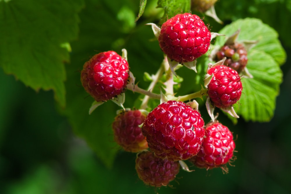red raspberry fruit in close up photography
