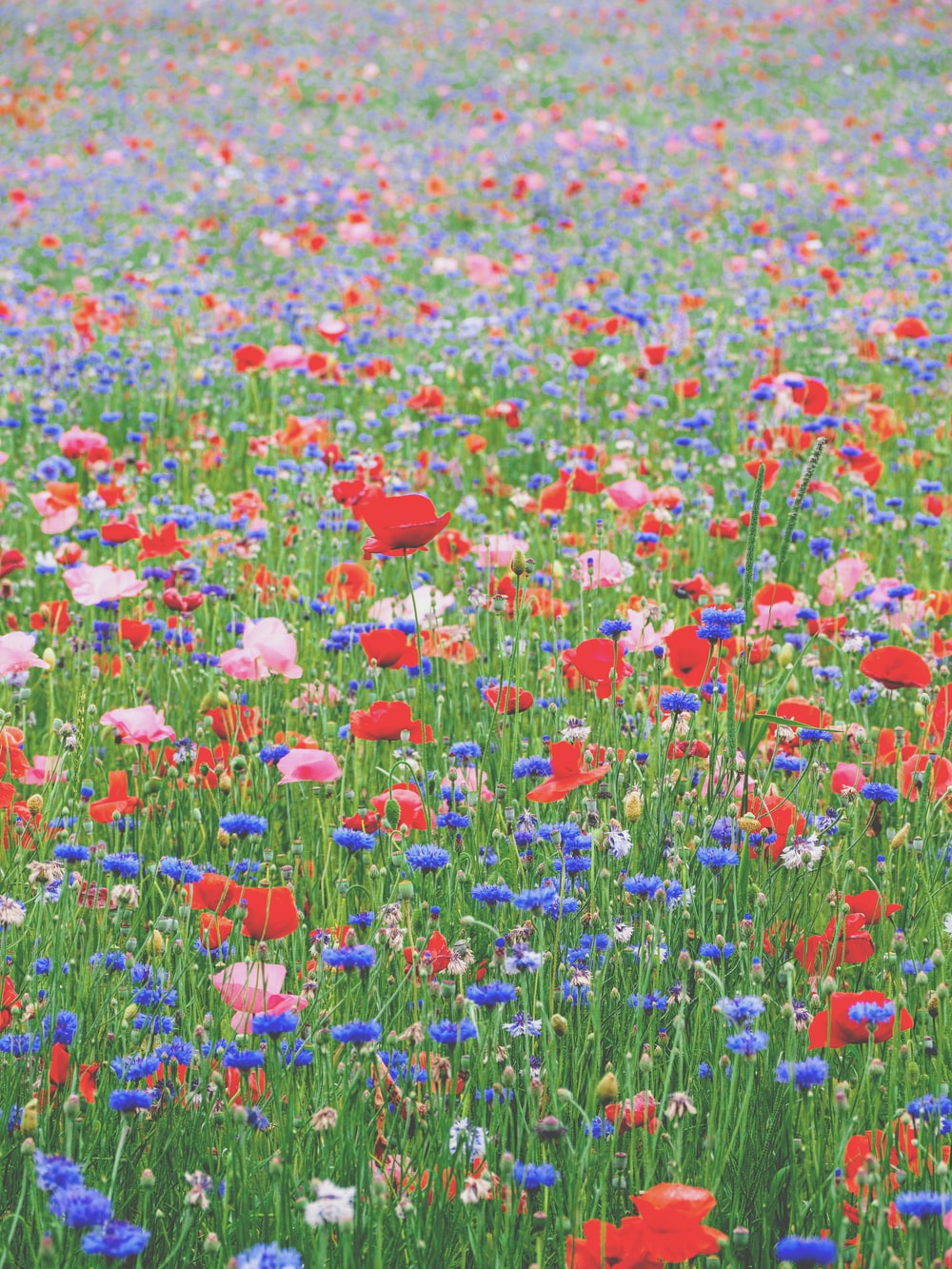 red blue and yellow flower field