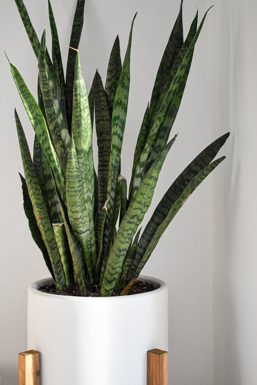 green snake plant on white pot
