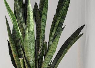 green snake plant on white pot