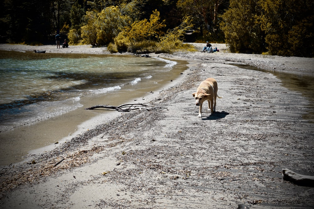 brown short coated dog walking on gray sand near body of water during daytime