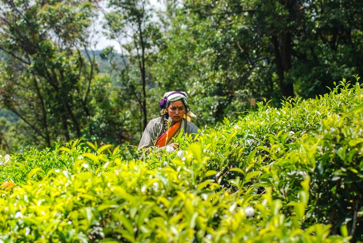 How to take a tour of a tea factory