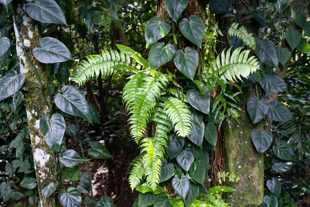 Ferns and philodendron plants growing naturally on tree trunks in the Cairns Botanic Gardens,