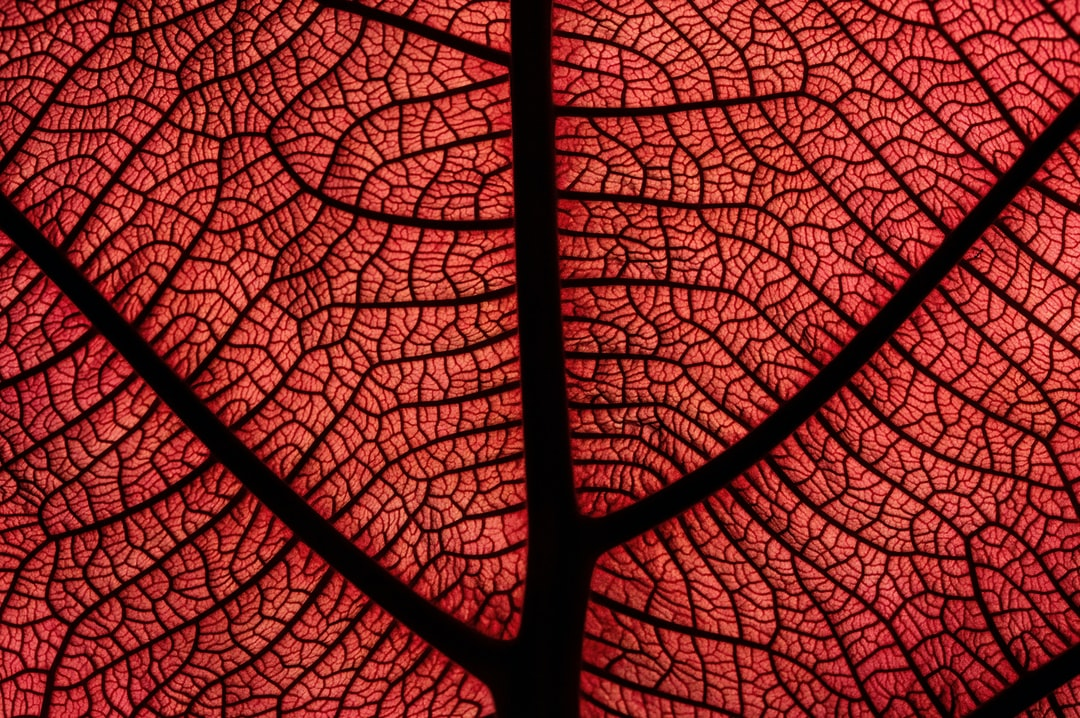 A back lit new leaf of a Sea Grape Coccoloba uvifera. Photographed in the Cairns Botanic Gardens.