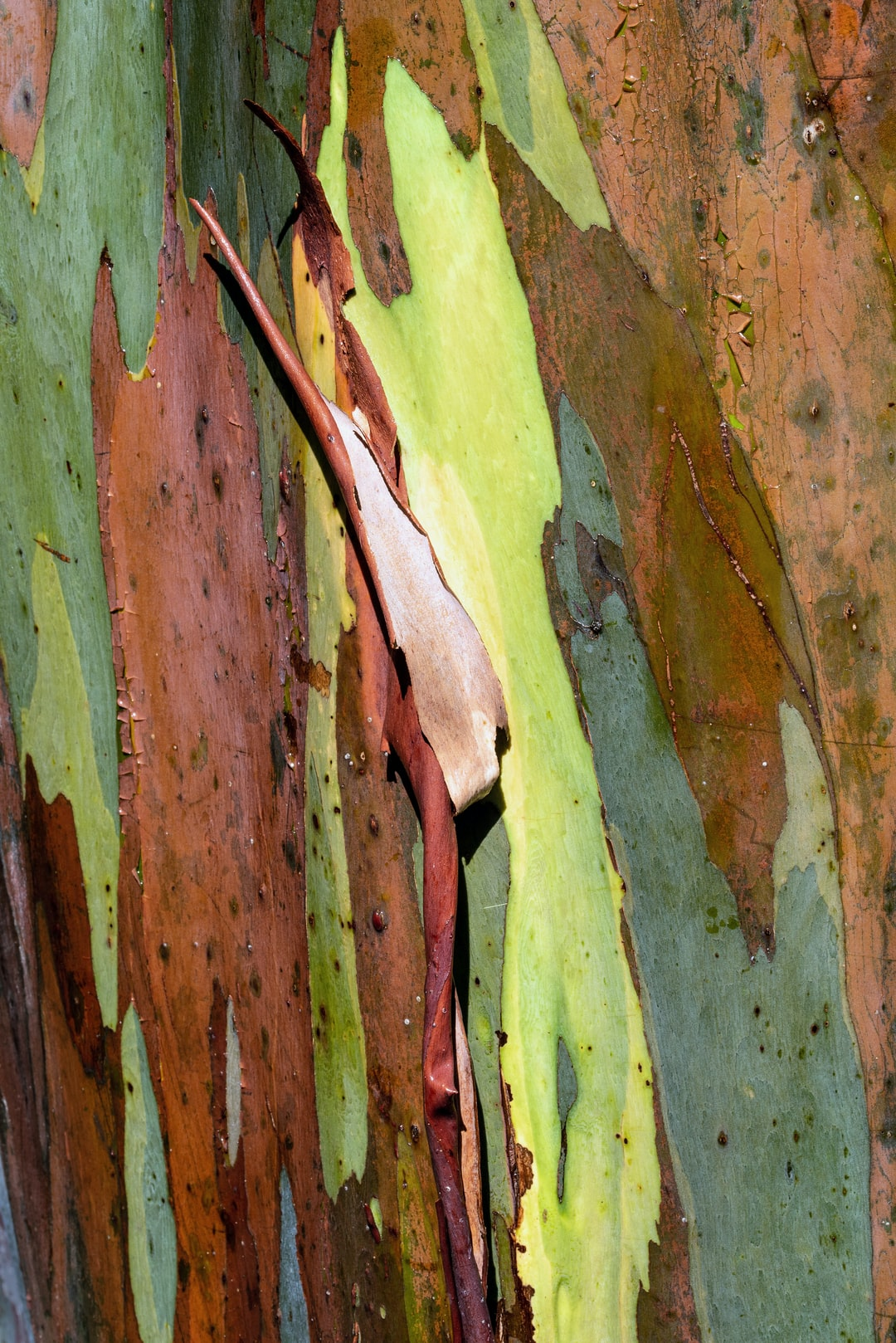 Bark of a Rainbow Gum tree Eucalyptus deglupta. This is a young tree, and they can be even more colourful than this.