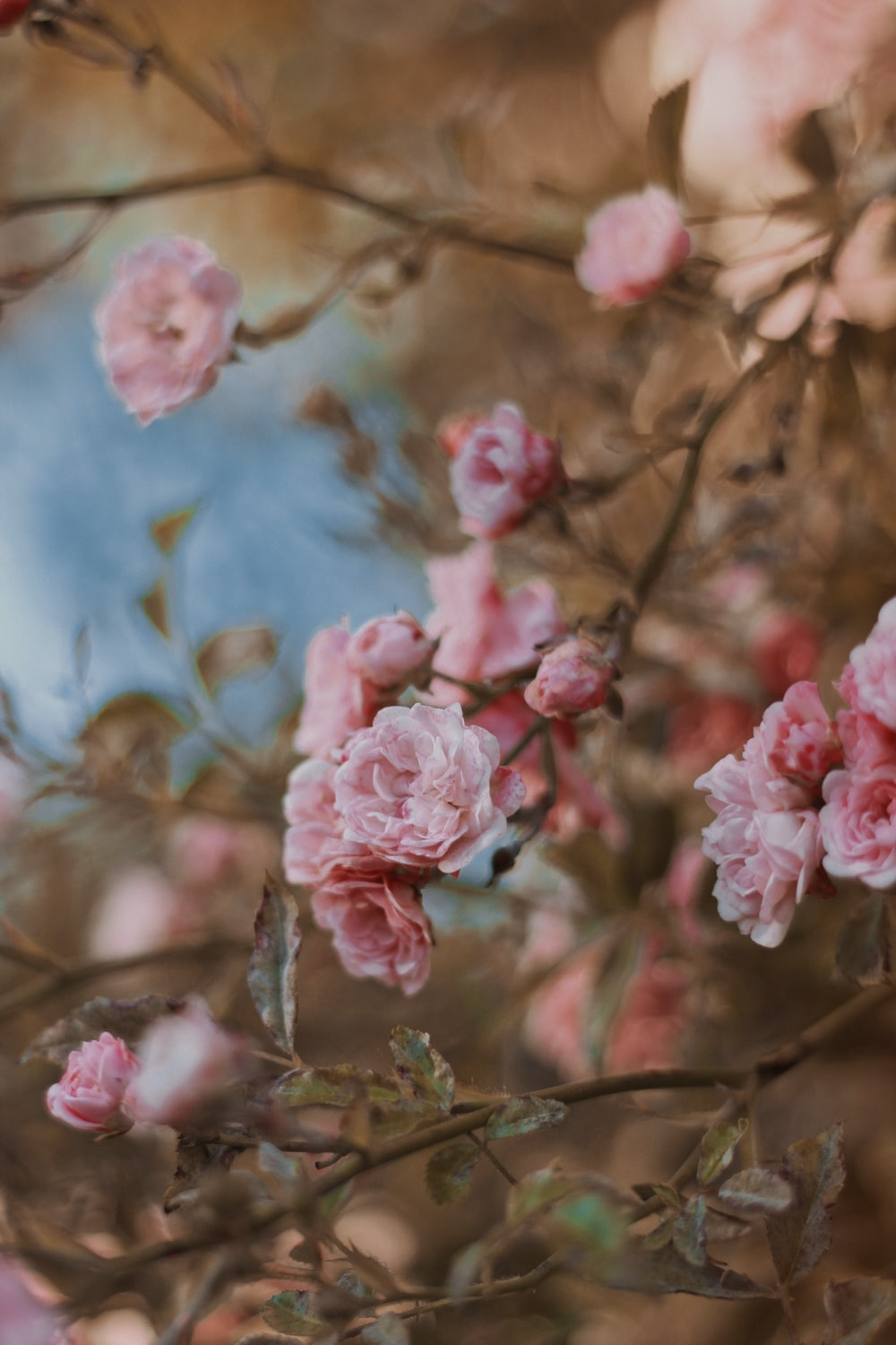 pink cherry blossom in close up photography