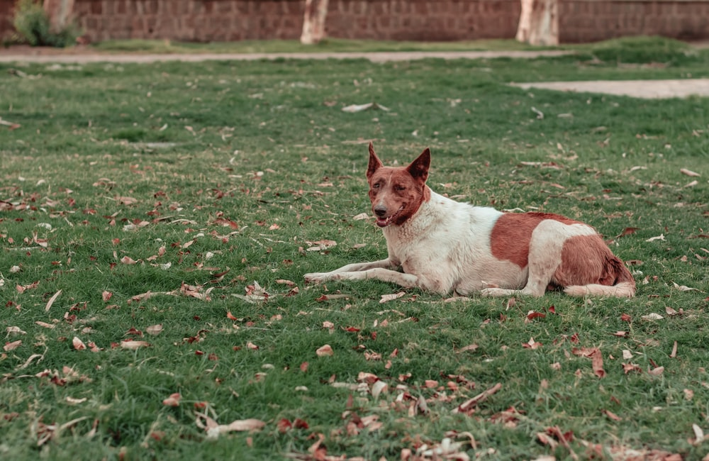 brown and white short coated dog lying on green grass field during daytime