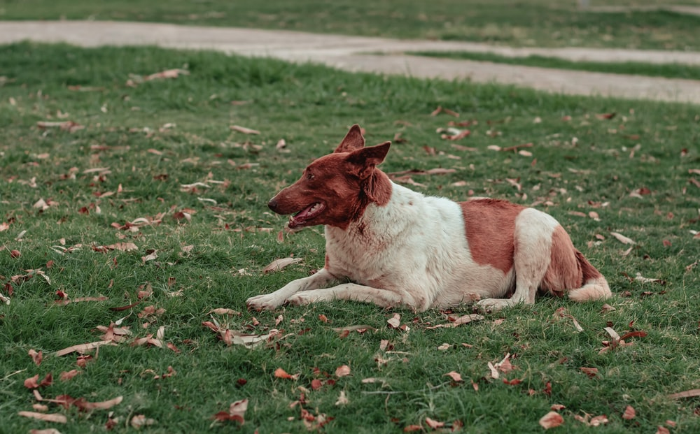 white and brown short coated dog lying on green grass during daytime