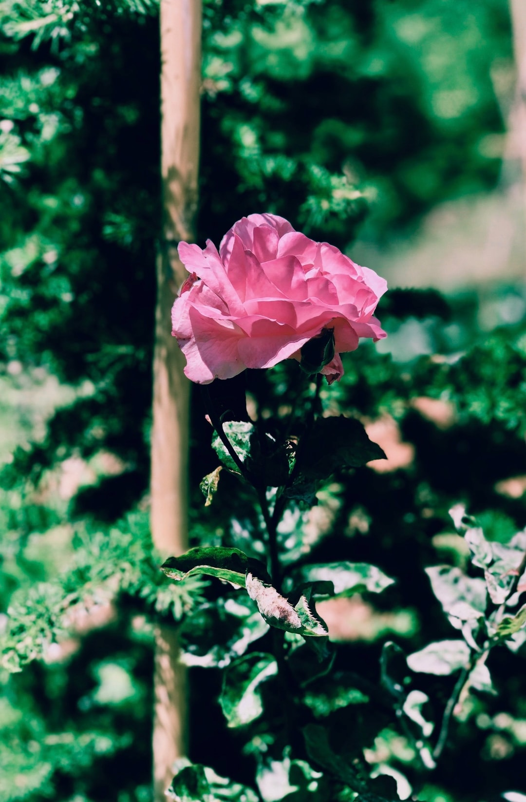 A beautiful pink rose standing tall amongst vibrant green leaves.
