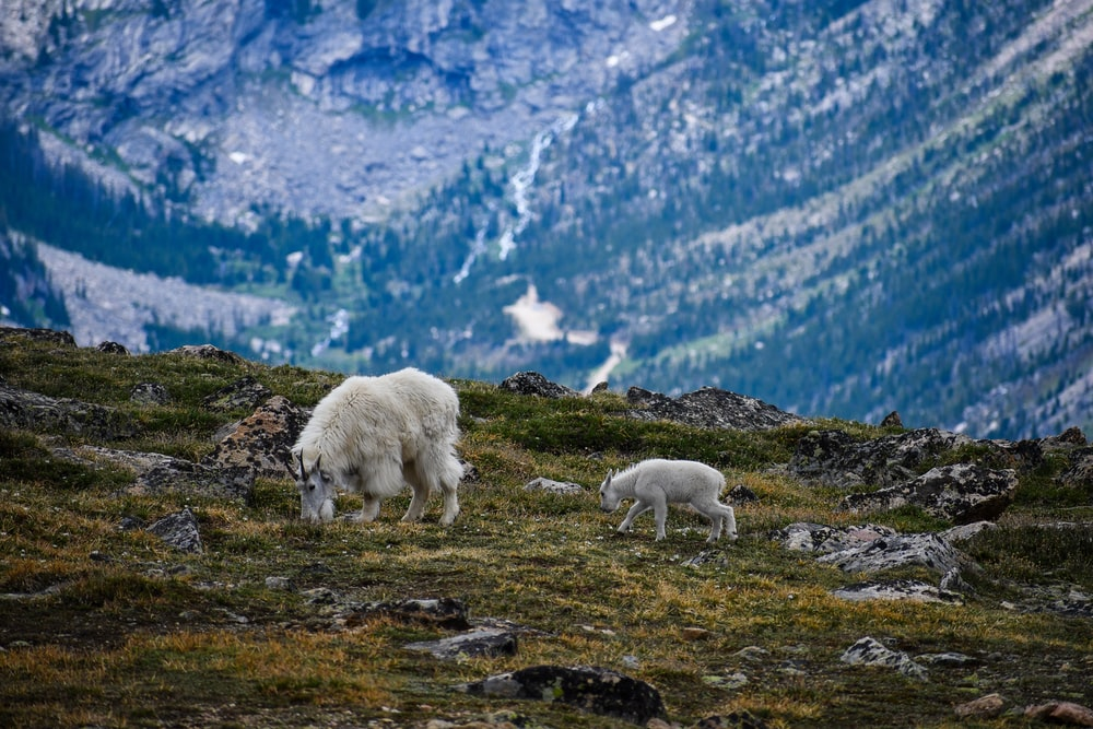 white sheep on green grass field during daytime
