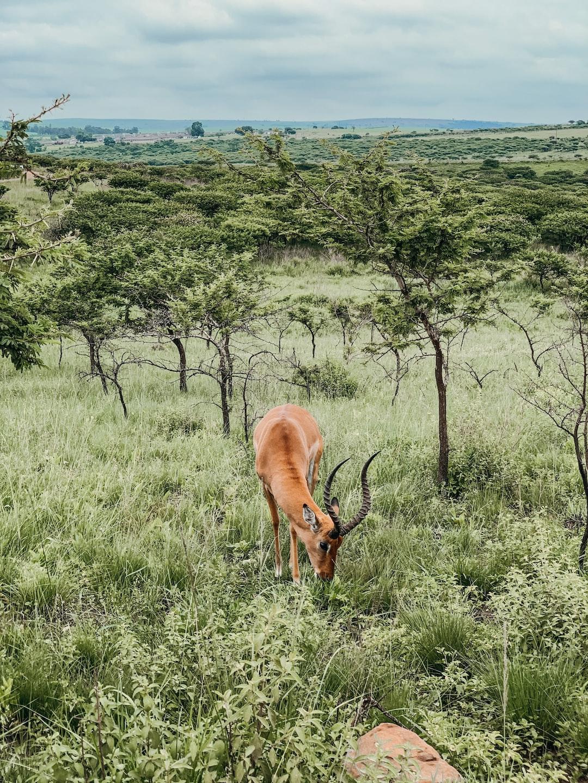 Springbok in its natural habitat