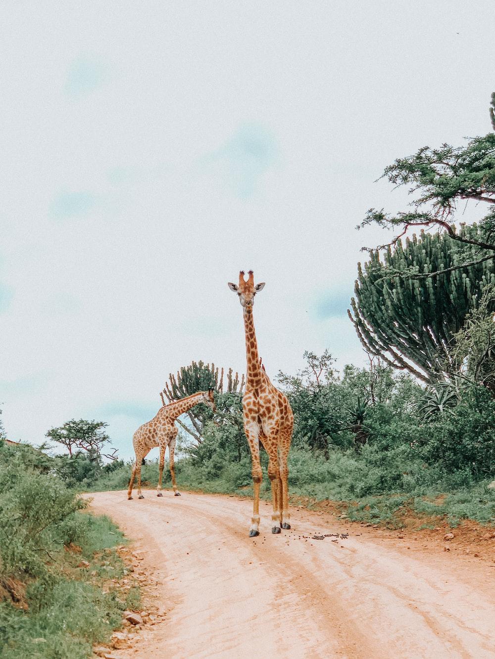 giraffe standing on brown dirt road during daytime