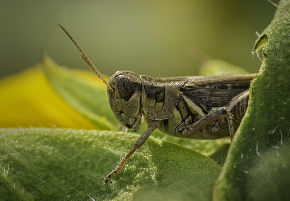 brown grasshopper perched on green leaf in close up photography during daytime