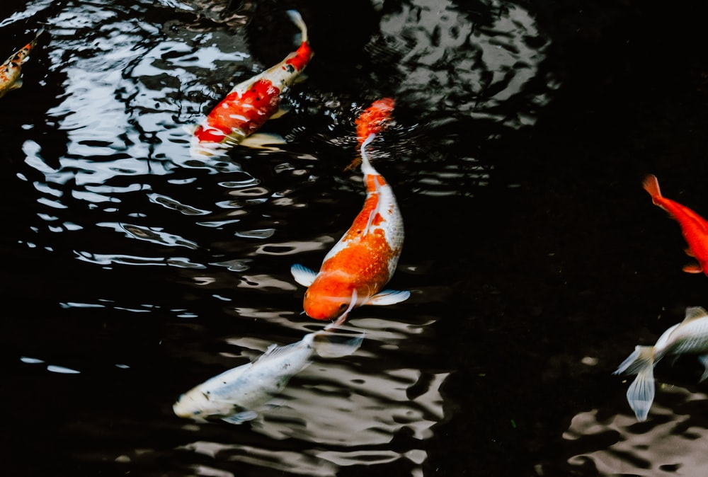 white and orange koi fish on water