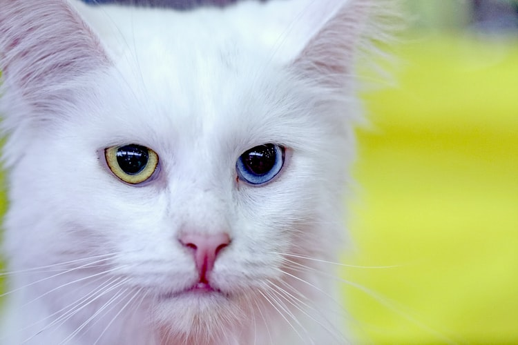 A close-up shot of a fluffy white cat's face with one green eye and one blue eye. You get the feeling this cat is a bit weathered. It's seen things.