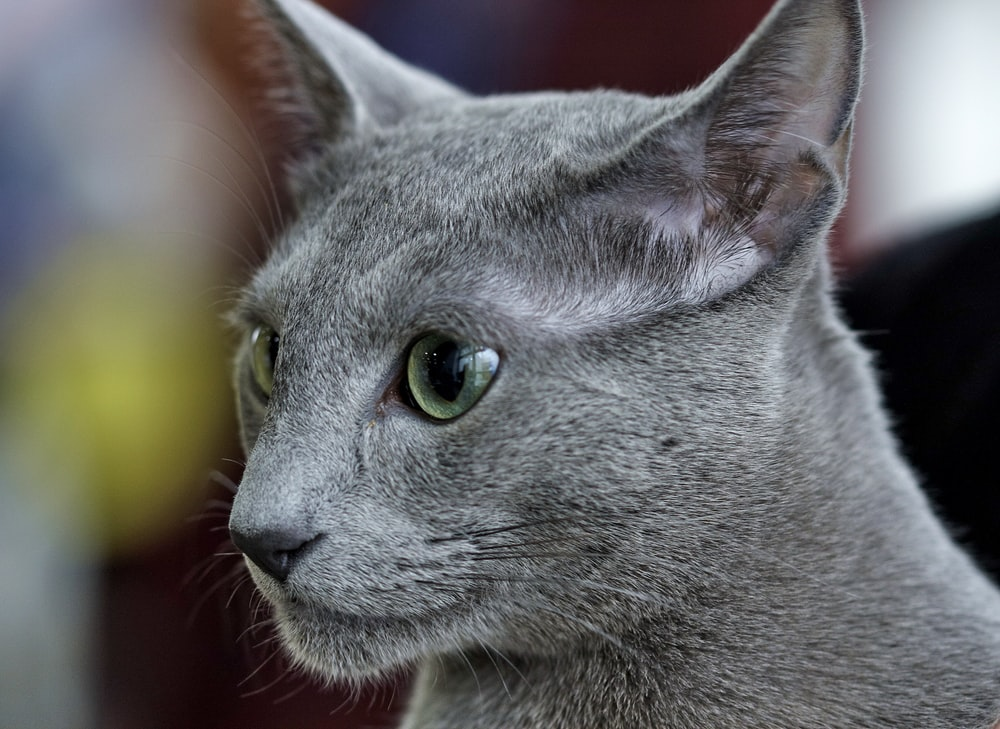 russian blue cat in close up photography