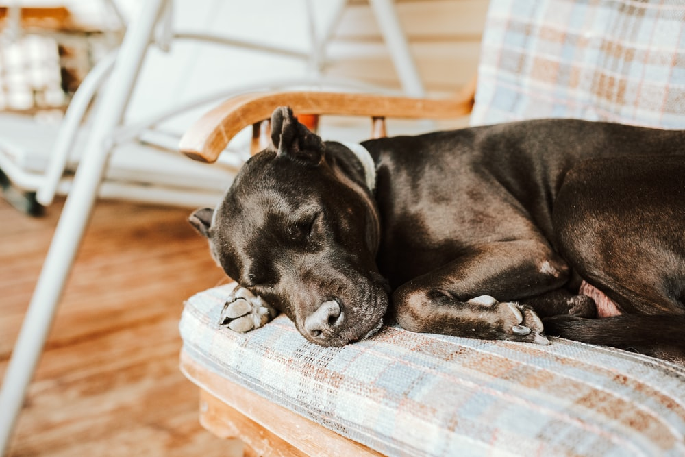 black short coat medium dog lying on brown wooden floor