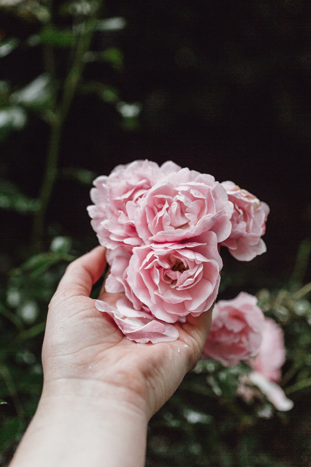 person holding pink rose in bloom during daytime