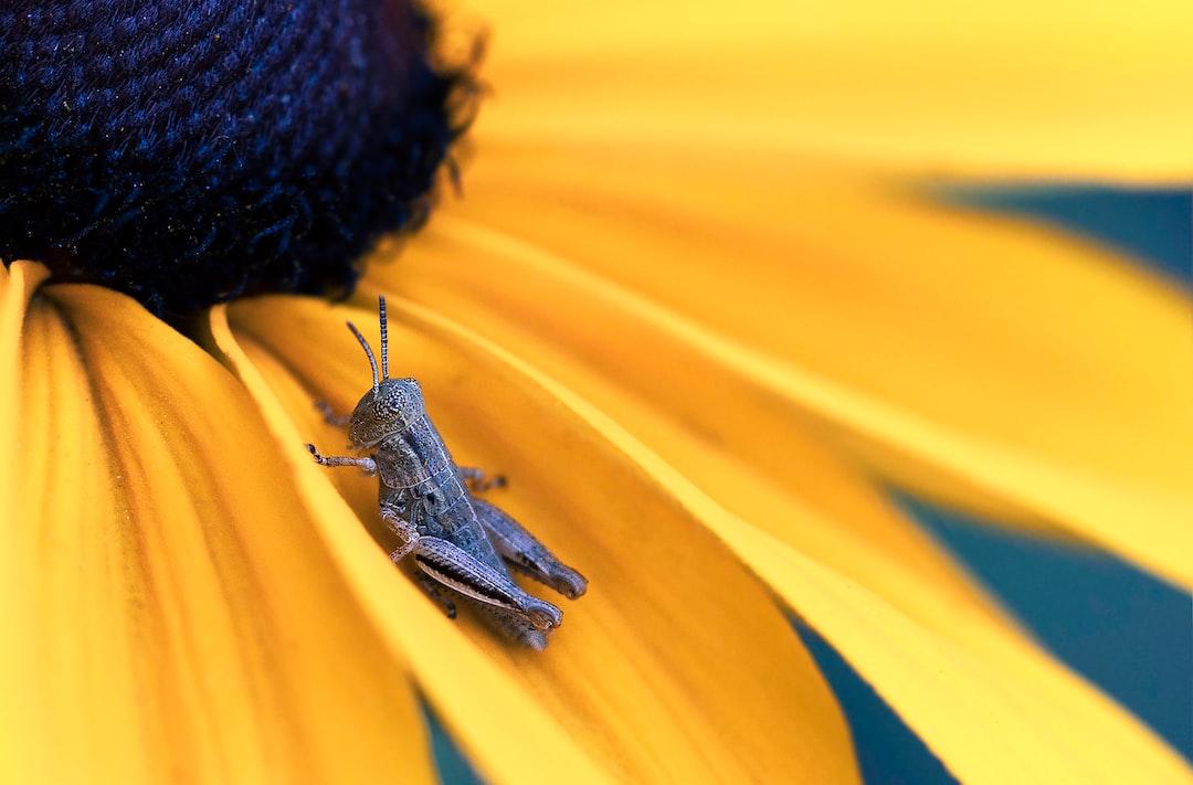 A Baby Grasshopper On A Black Eyed-Susan - unsplash