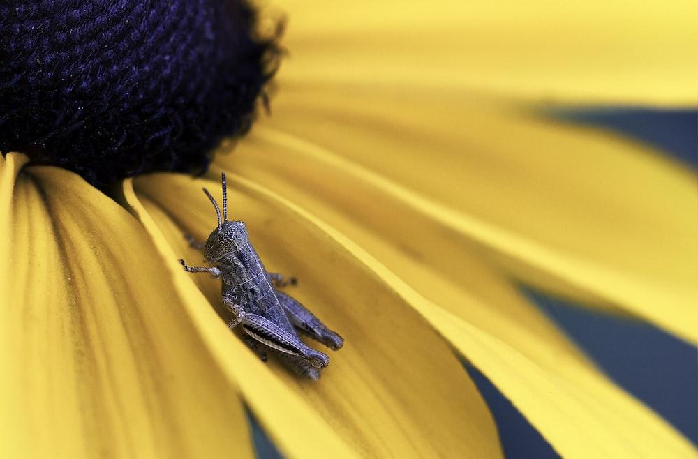 brown grasshopper on yellow sunflower