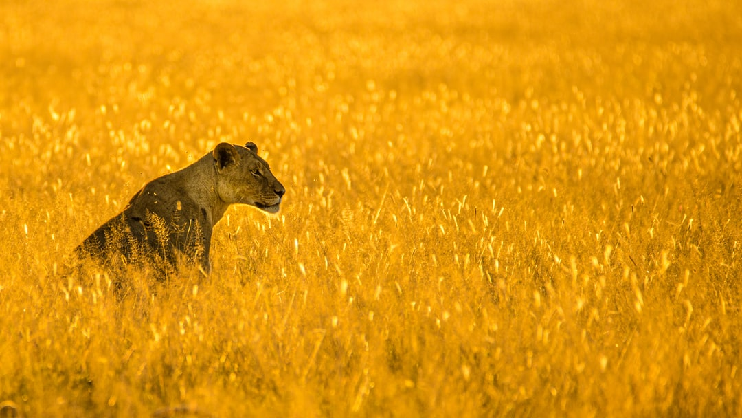 Lioness in the golden eveninglight