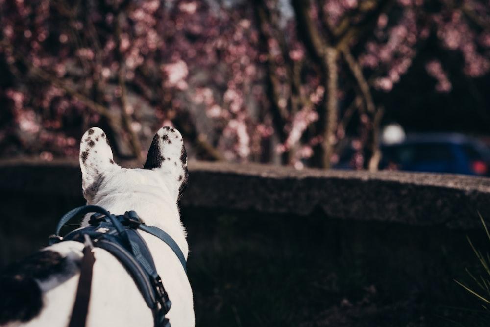 white and black short coated dog with black leash