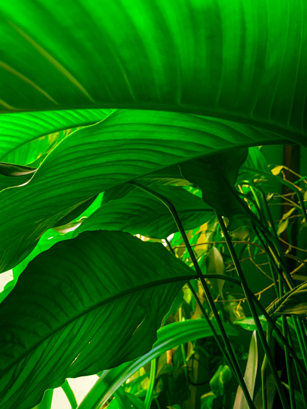 green banana leaf in close up photography