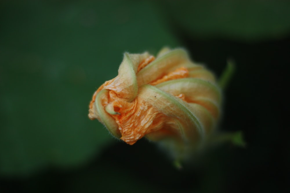 yellow and green flower bud in close up photography