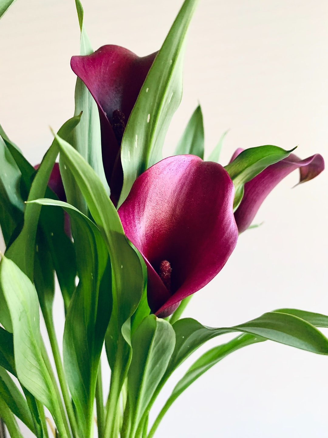 Calla Lily Blooming Houseplant. Flower plants