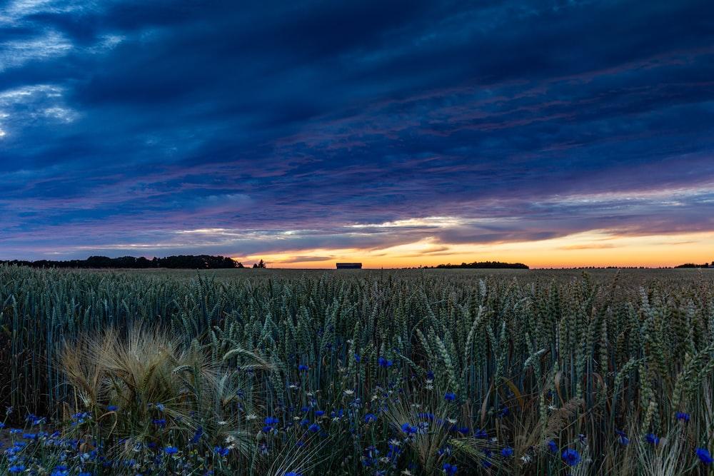 green grass field under blue sky during sunset