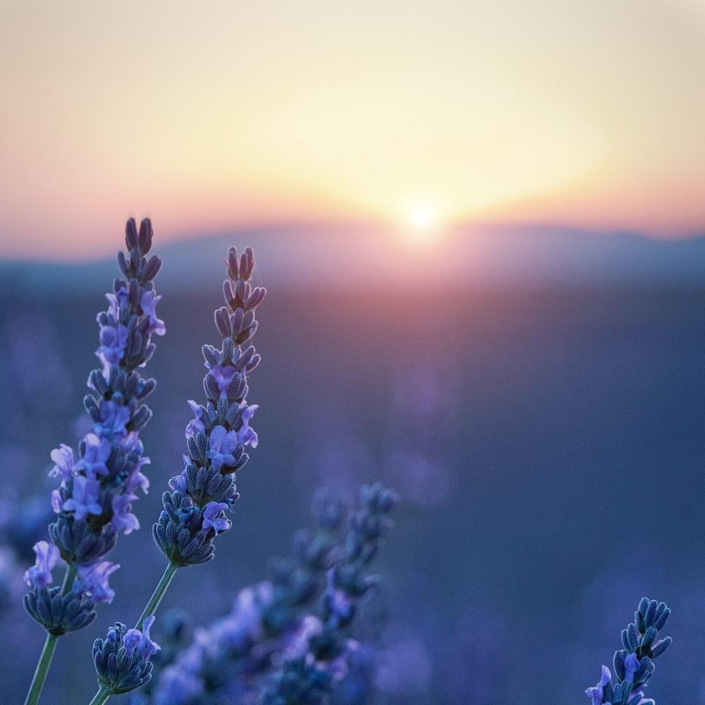 purple flower field during sunset