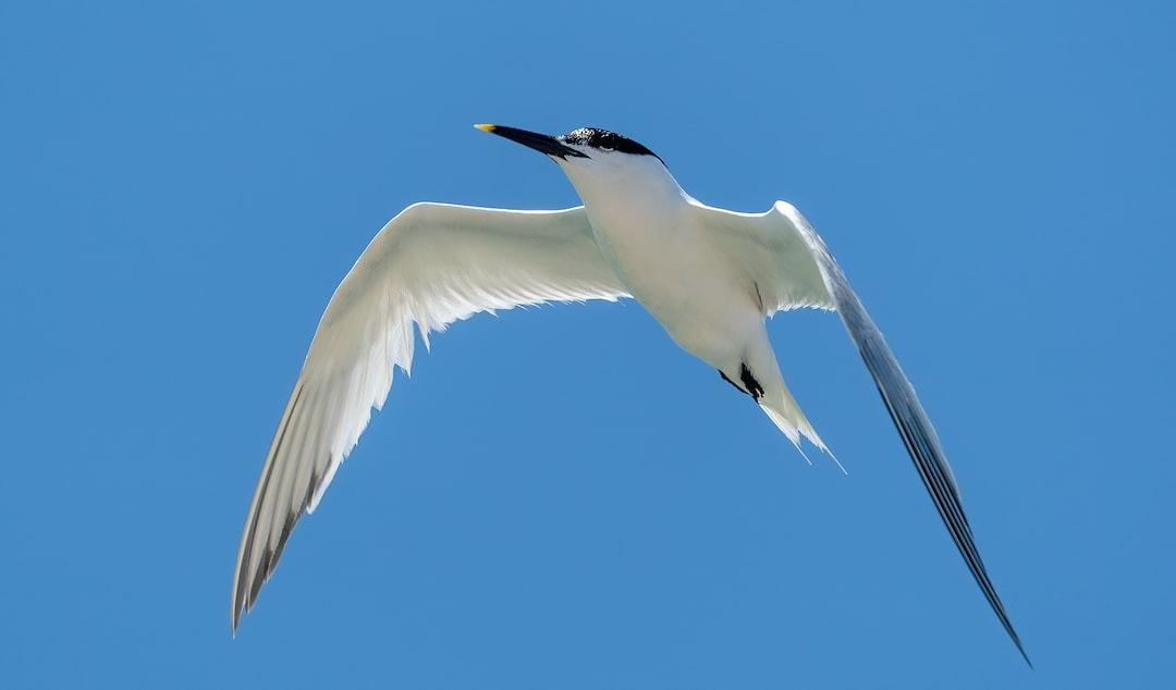 Sandwich Tern in the air.